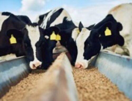 Biosprint gær har en synlig effekt på køerne!