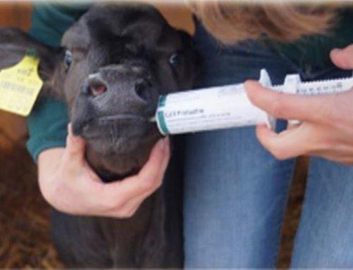 Calf Protector – et godt supplement før den første råmælkstildeling